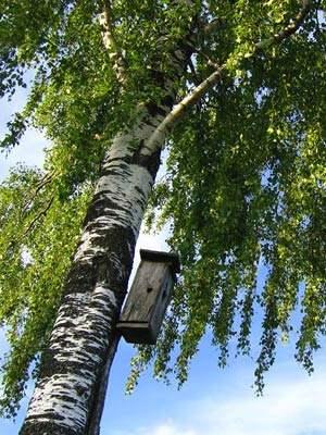 Масло из листьев березы и его целебные свойства
