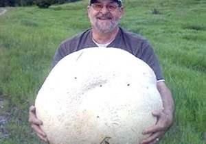 гриб дождевой фото