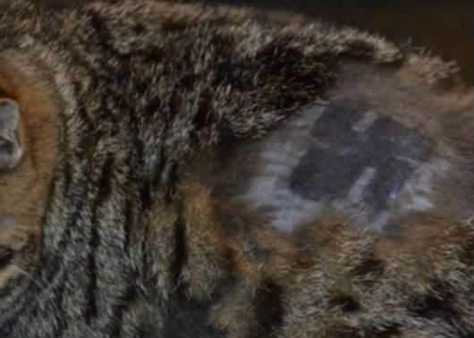 кот свастика