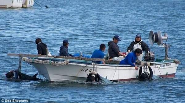Дельфины, Япония