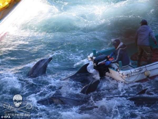 Дельфины, Япония2