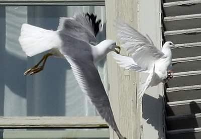 ватикан голуби2