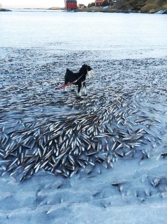 Ледовый Апокалипсис. В Норвегии рыба замерзла насмерть.