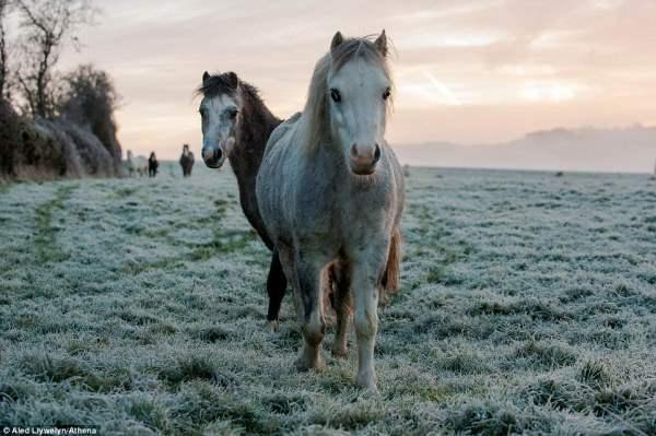 Лошади на поле, покрытом инеем в Картмане (Южный Уэльс) сегодня утром.
