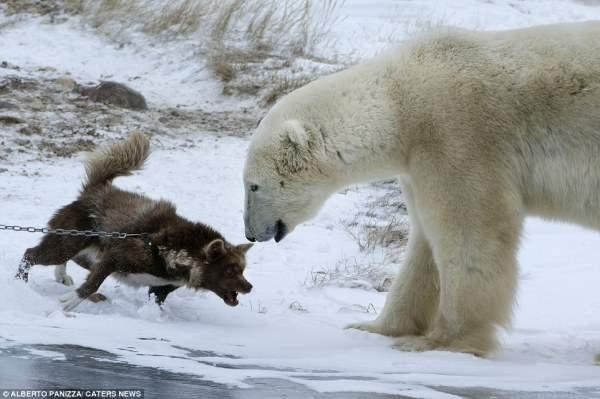 медведь и собака2