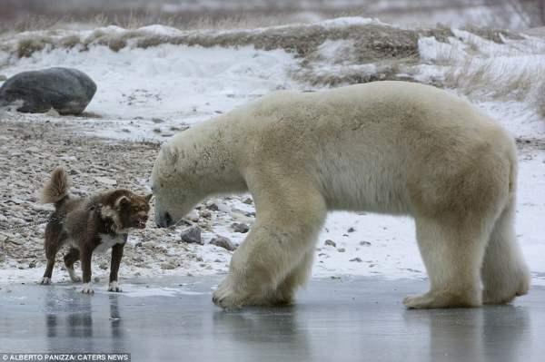 медведь и собака3