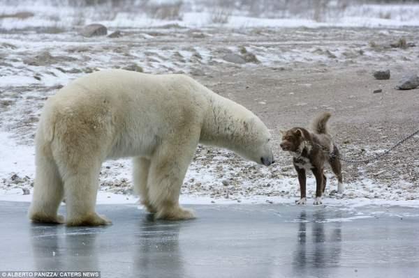 медведь и собака5