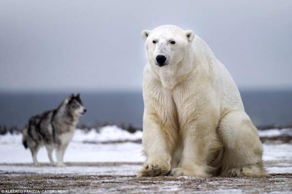 медведь и собака7