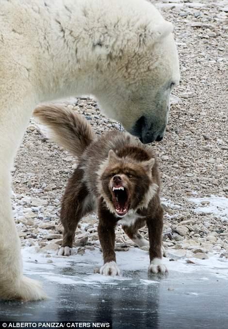 медведь и собака8