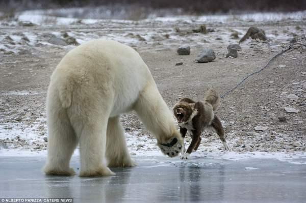 медведь и собака9