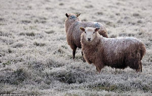 Пара овец пасется морозным утром в Дитчит Хилл.