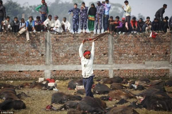 Ритуал начался на рассвете с торжественного Панча Бали - жертвоприношения из пяти животных, включающего крысу, козу, свинью и голубя, прежде чем перейти к буйволам.