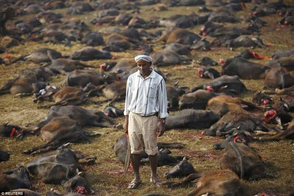 Поле убийства: фестиваль проходит в течение двух дней и стартовали массовые убийства буйволов, после чего сотни тысяч животных были принесены в жертву богине.