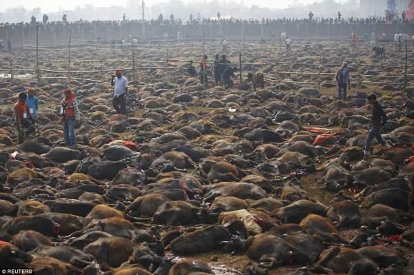 Подношение богам: Тысячи буйволов лежат мертвыми в поле после приношения  в жертву для религиозного праздника в районе границы с Индией в Непале