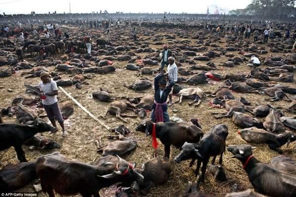Религиозное убийство: мясник готовится убить буйвола во время массового убоя животных возле храма богини власти.