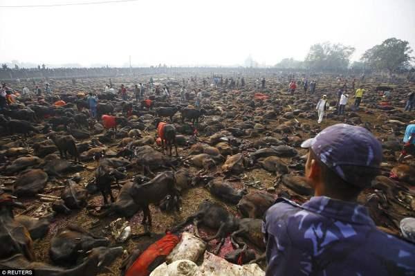 Хорошее начало: В первый день было убито более 6000 буйволов.