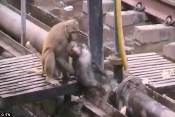 обезьяна5