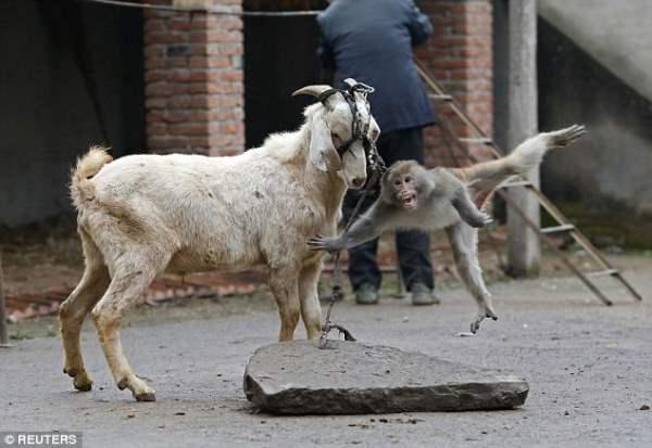 Обезьянка привязана к рогам козы и попытка убежать не увенчалась успехом.