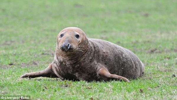 тюлень британия5