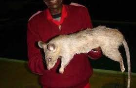Поселок в Ирландии атакуют гигантские крысы