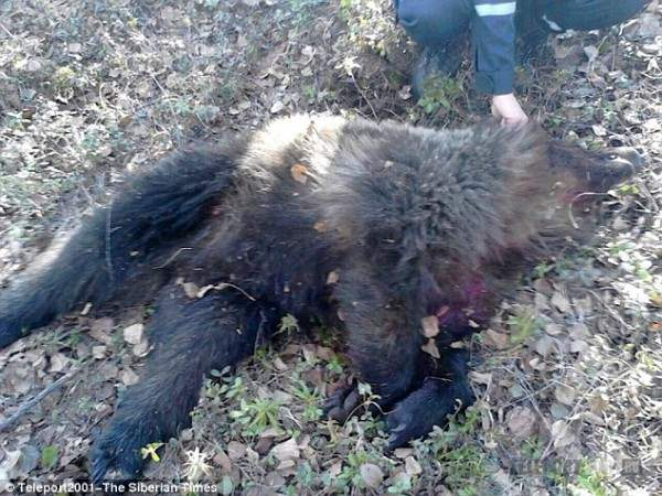 Окровавленный медведь