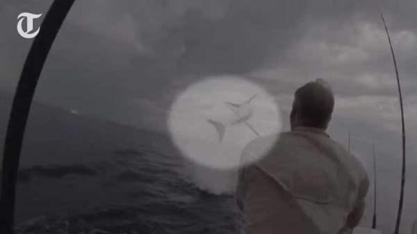 Трехметровая акула выпрыгнула из воды (Видео)