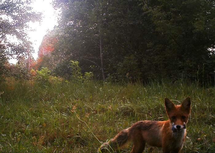 chernobyl-wildlife-camera-traps (4)