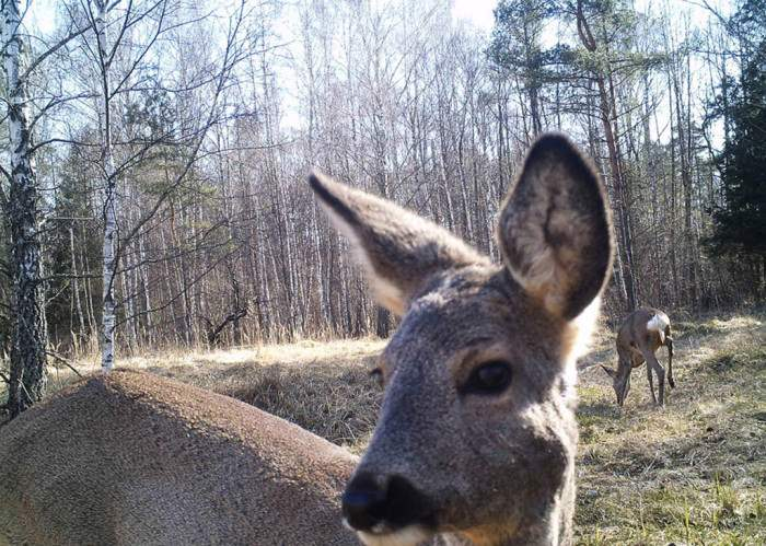 chernobyl-wildlife-camera-traps (6)