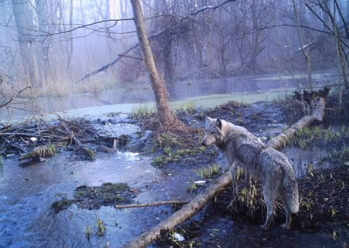 chernobyl-wildlife-camera-traps (9)