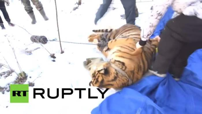 Под Воронежем поймали тигра