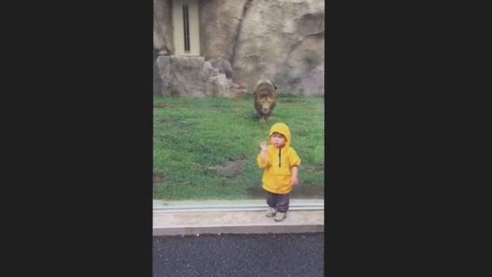 Лев напал на малыша (Видео)