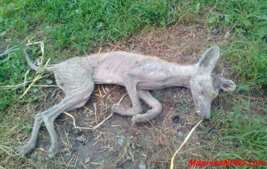 Фото убитой на Хмельнитчине чупакабры