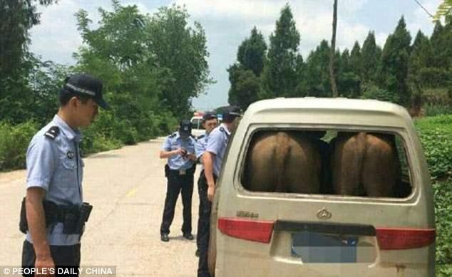 китай коровы в багажнике (2)