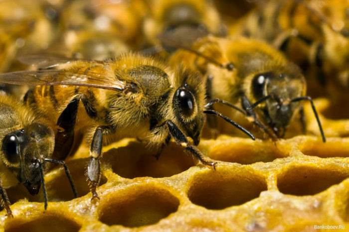 the-bees-could-disappear-in-20-years