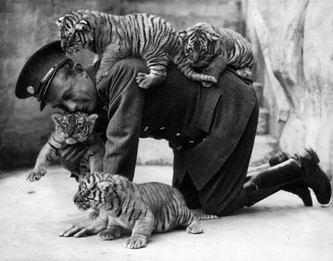 Смотритель зоопарка с тигрятами. 1937 г.
