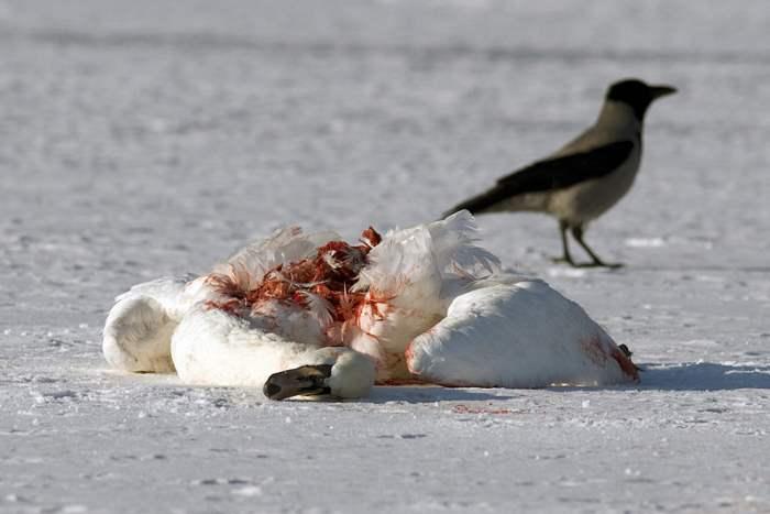 Румыния птичий грипп
