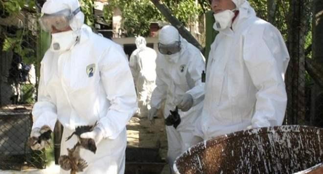 птичий грипп нидерланды