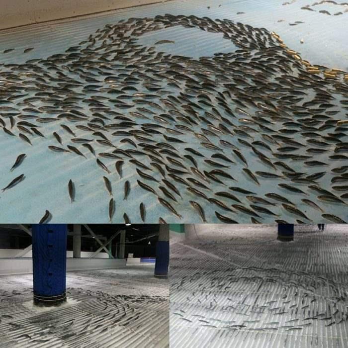 Рыбы каток япония