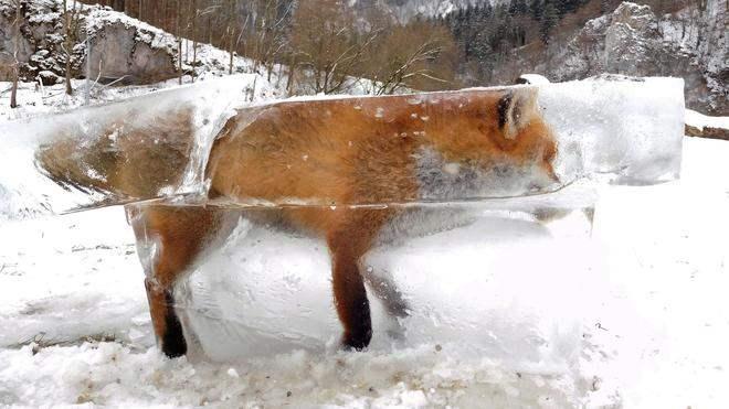 Вмерзшая в лёд лиса