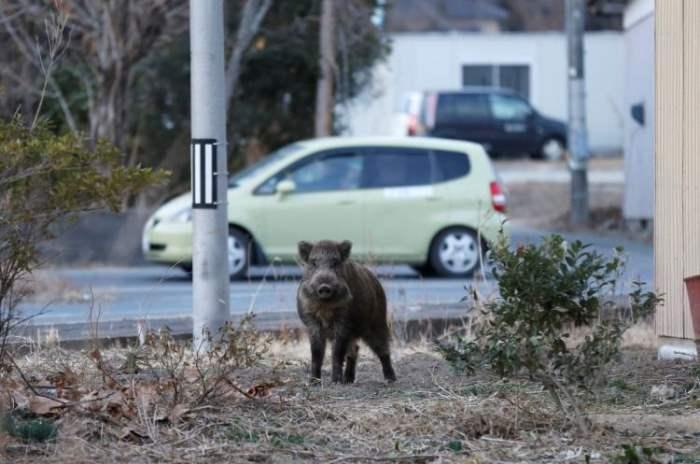 Кабаны Фукусима