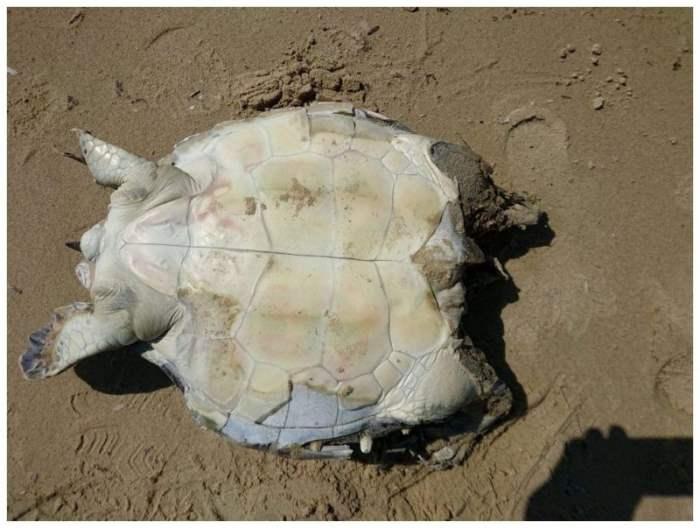 Обезглавленная черепаха, Греция