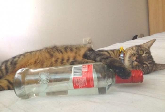 кошка с водкой