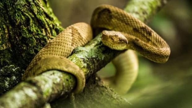 змеи бразилия