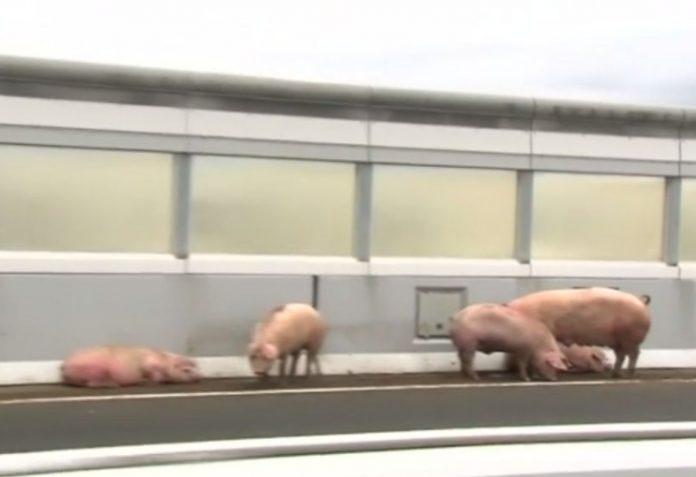 Свиньи Япония