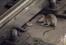 Крысы Нью-Йорк