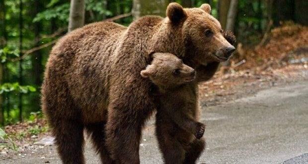 Медведи румыния