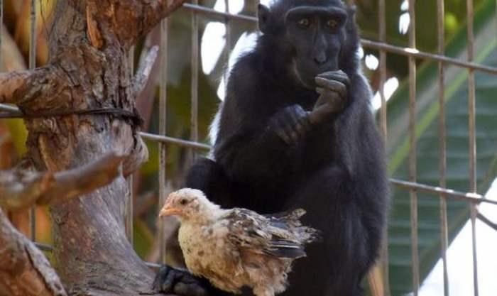 макака и обезьяна