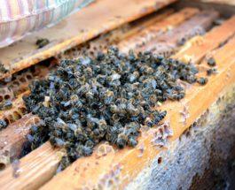 Смерть пчел