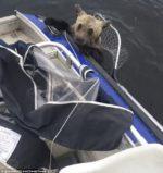 Спасение медведей