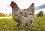 Курица изнасилование